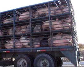 transport-animale